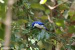 Blue vanga [madagascar_ankarana_0301]