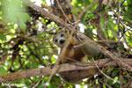 Female crowned lemur (Eulemur coronatus) [madagascar_ankarana_0302]