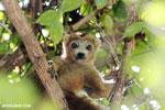 Female crowned lemur (Eulemur coronatus) [madagascar_ankarana_0303]
