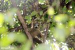 Female crowned lemur (Eulemur coronatus) [madagascar_ankarana_0304]
