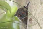 Ankarana lepilemur (Lepilemur ankaranensis)