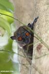 Ankarana lepilemur (Lepilemur ankaranensis) [madagascar_ankarana_0311]