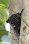 Ankarana sportive lemur [madagascar_ankarana_0312]