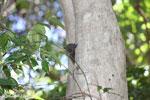 Lepilemur ankaranensis lemur [madagascar_ankarana_0314]