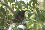 Ankarana lepilemur (Lepilemur ankaranensis) [madagascar_ankarana_0316]