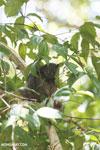 Ankarana sportive lemur [madagascar_ankarana_0317]