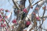 Sunbird [madagascar_ankarana_0355]