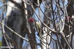 Sunbird [madagascar_ankarana_0371]