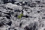 Tsingy vegetation [madagascar_ankarana_0378]