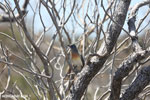 Crested coua [madagascar_ankarana_0395]