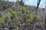 Tsingy vegetation [madagascar_ankarana_0403]