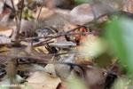 Mimophis mahfalensis snake [madagascar_ankarana_0409]