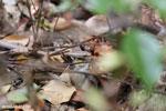 Mimophis mahfalensis snake [madagascar_ankarana_0410]