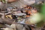 Mimophis mahfalensis snake [madagascar_ankarana_0411]