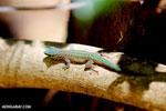Abbott's Day Gecko (Phelsuma abbotti) [madagascar_ankarana_0414]