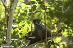 Crowned lemur (Eulemur coronatus) [madagascar_ankarana_0416]