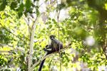 Crowned lemur (Eulemur coronatus) [madagascar_ankarana_0417]