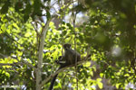 Crowned lemur (Eulemur coronatus) [madagascar_ankarana_0418]