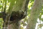Sanford's brown lemur (Eulemur sanfordi) [madagascar_ankarana_0435]