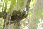 Sanford's brown lemur (Eulemur sanfordi) [madagascar_ankarana_0436]