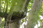 Sanford's brown lemur (Eulemur sanfordi) [madagascar_ankarana_0437]