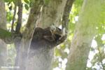 Sanford's brown lemur (Eulemur sanfordi) [madagascar_ankarana_0438]