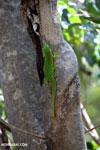Madagascar giant day gecko (Phelsuma madagascariensis grandis) [madagascar_ankarana_0444]