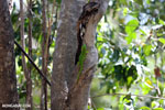 Madagascar giant day gecko (Phelsuma madagascariensis grandis) [madagascar_ankarana_0446]