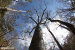 Baobab tree in Ankarana