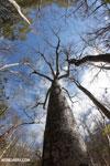 Diego Suarez Baobab (Adansonia suarezensis) [madagascar_ankarana_0455]