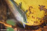 Abbott's Day Gecko (Phelsuma abbotti) [madagascar_diego_suarez_0010]
