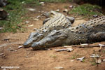 Nile crocodile in Madagascar [madagascar_herps_0003]