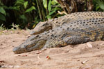 Nile crocodile in Madagascar [madagascar_herps_0005]