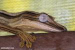 Uroplatus lineatus in captivity [madagascar_herps_0022]