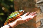 Panther chameleon (Furcifer pardalis) [madagascar_herps_0057]