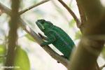 Panther chameleon (Furcifer pardalis) [madagascar_herps_0058]