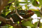 Panther chameleon (Furcifer pardalis) [madagascar_herps_0061]