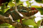 Panther chameleon (Furcifer pardalis) [madagascar_herps_0062]