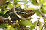 Panther chameleon (Furcifer pardalis) [madagascar_herps_0063]