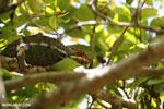 Panther chameleon (Furcifer pardalis) [madagascar_herps_0064]