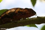 Panther chameleon (Furcifer pardalis) [madagascar_herps_0066]