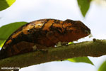 Panther chameleon (Furcifer pardalis) [madagascar_herps_0067]