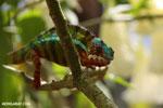 Panther chameleon (Furcifer pardalis) [madagascar_herps_0068]