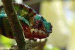 Panther chameleon (Furcifer pardalis) [madagascar_herps_0069]