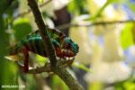 Panther chameleon (Furcifer pardalis) [madagascar_herps_0070]