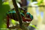 Panther chameleon (Furcifer pardalis) [madagascar_herps_0071]