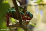 Panther chameleon (Furcifer pardalis) [madagascar_herps_0073]