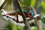 Panther chameleon (Furcifer pardalis) [madagascar_herps_0074]