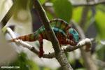 Panther chameleon (Furcifer pardalis) [madagascar_herps_0075]