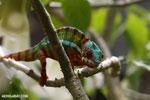 Panther chameleon (Furcifer pardalis) [madagascar_herps_0076]